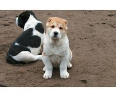 Alabai pups  price in chandigarh, Alabai pups  for sale in chandigarh