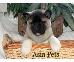 Akita puppies price in Chandigarh, Akita puppies for sale in Chandigarh