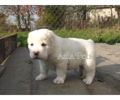 Alabai puppies price in gurgaon, Alabai puppies for sale in gurgaon,