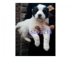 Alabai puppy price in Ghaziabad, Alabai puppy for sale in Ghaziabad