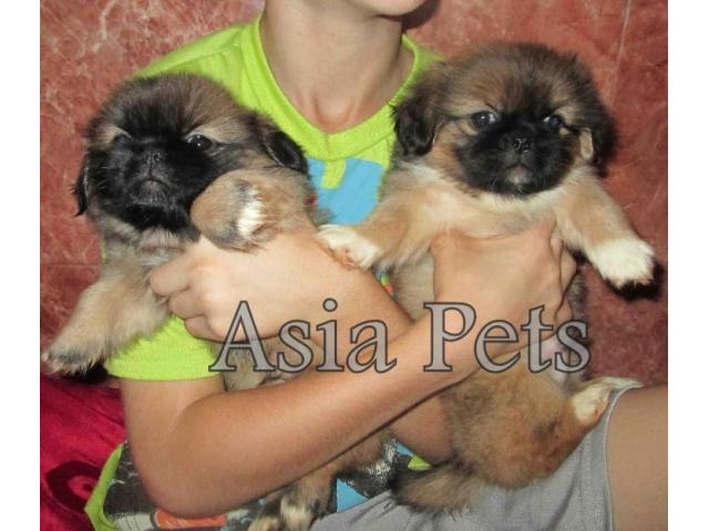 puppies for sale in hyderabad
