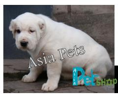 Alabai puppy price in Mysore, Alabai puppy for sale in Mysore