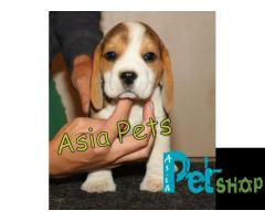Beagle puppy price in Nashik, Beagle puppy for sale in Nashik