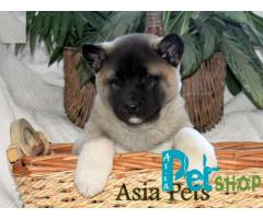 Akita puppy price in nagpur, Akita puppy for sale in nagpur