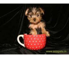 Silky Terrier (Australian) Price In India | Silky Terrier (Australian) For Sale In India