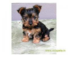 Silky Terrier (Australian) Price In India | Silky Terrier (Australian) Puppy For Sale In India