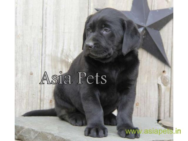 Labrador puppies for sale delhi| Labrador pups for sale in delhi - 1/1