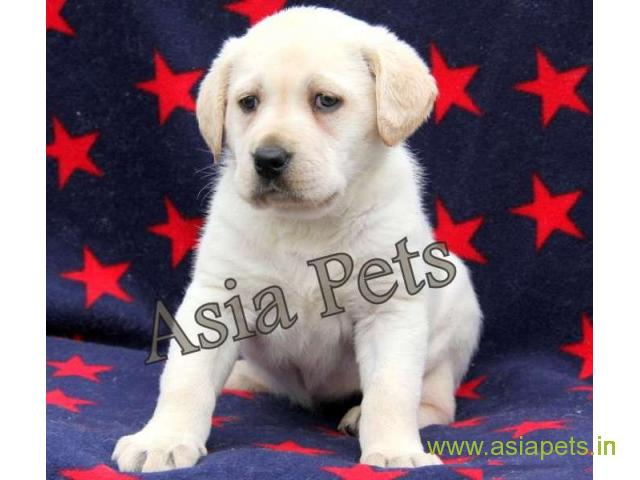 Labrador puppies for sale delhi, Labrador pups for sale in delhi - 1/1