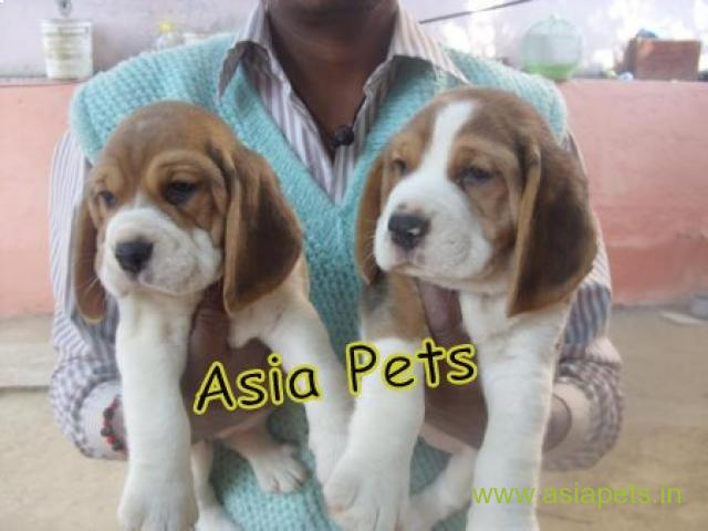 Beagle Puppies For Sale in Delhi, Beagle Puppies Price in Delhi - 1/1