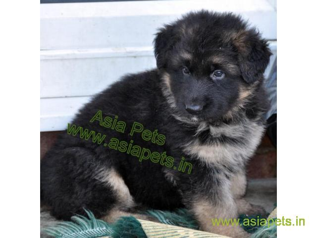 German shepherd Heavy Bone Puppy For Sale In Delhi, German shepherd puppy in best price - 1/1