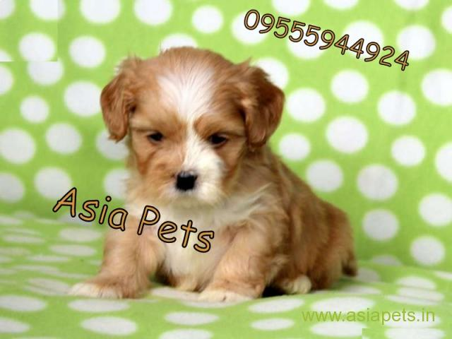 Lhasa apso Puppies For Sale in Delhi, Lhasa apso Puppies Price in Delhi - 1/1