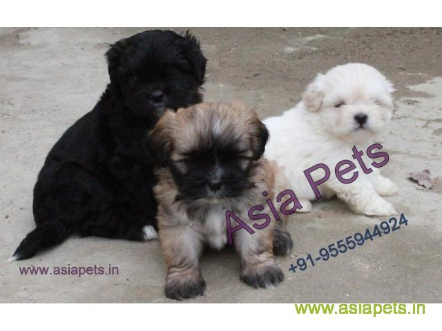 Lhasa apso Pups For Sale in Delhi, Lhasa apso Pups Price in Delhi - 1/1