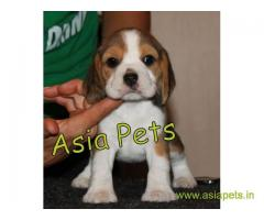 Beagle puppy price in thane, Beagle puppy for sale in thane
