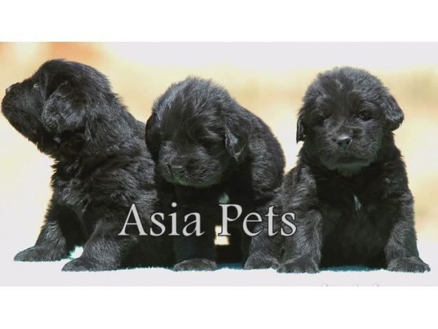 Golden Retriever Price In Ahmedabad | Black Hairstyle and Haircuts