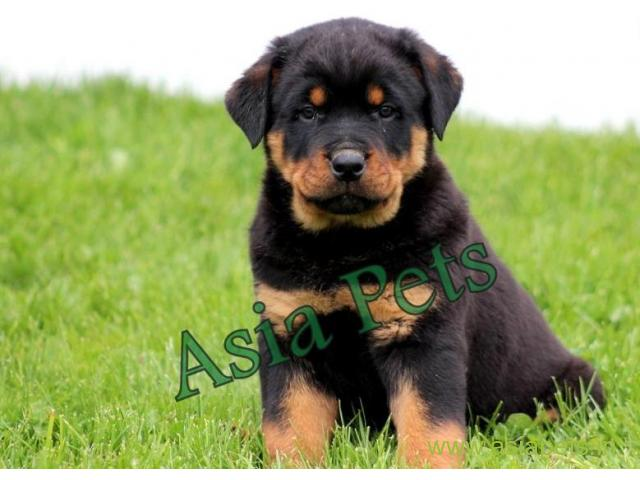 How much does a rottweiler cost in india