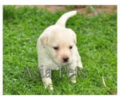 Labrador pups price in Ranchi, Labrador pups for sale in Ranchi