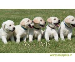 Labrador puppies price in Ranchi, Labrador puppies for sale in Ranchi