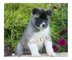 Akita pups price in Bangalore, Akita pups for sale in Bangalore