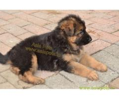 German Shepherd pups price in Surat,  German Shepherd pups for sale in Surat