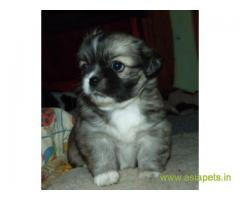 Tibetan spaniel pups price in Surat,  Tibetan spaniel pups for sale in Surat