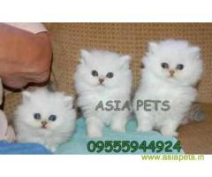 Persian kitten  for sale in Agra at best price