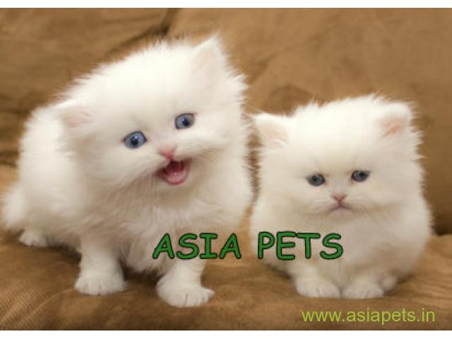 Persian cat in bangalore for sale