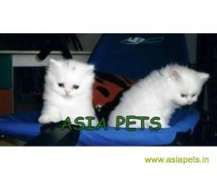 Persian kitten  for sale in Bhubaneswar at best price