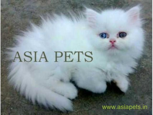 Persian cat kitten for sale in chennai