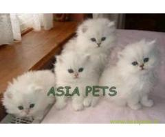 Persian kitten  for sale in Kolkata at best price