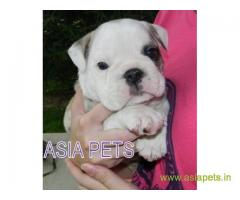 Bulldog  for sale in Kolkata at best price