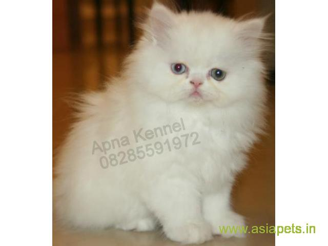 How Much Do Blue Persian Cats Cost