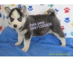 Siberian husky puppy for sale in Nashik at best price