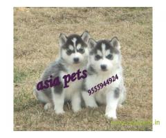 Siberian husky puppy for sale in Mysore at best price