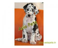 Harlequin great dane puppy for sale in Kanpur at best price