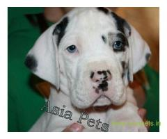 Harlequin great dane puppy for sale in Madurai at best price