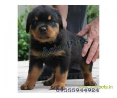 Rottweiler puppy  for sale in Kanpur Best Price