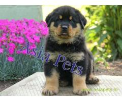 Rottweiler puppy  for sale in Lucknow Best Price