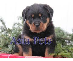Rottweiler puppy  for sale in patna Best Price