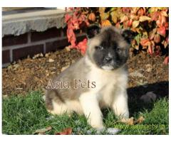Akita puppy for sale in Faridabad at best price