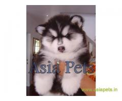 Alaskan Malamute puppy  for sale in rajkot best price