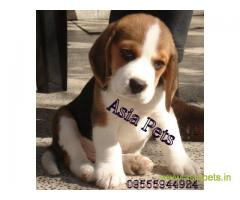 Beagle puppy  for sale in Agra Best Price