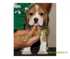 Beagle puppy  for sale in Jaipur Best Price