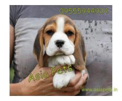Beagle puppy  for sale in Mysore Best Price