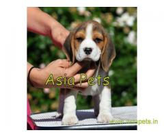 Beagle puppy  for sale in Nashik Best Price