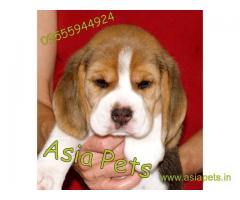 Beagle puppy  for sale in vijayawada Best Price