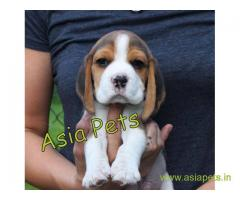 Beagle puppy  for sale in navi mumbai Best Price