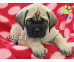 English mastiff puppy for sale in Mysore at best price