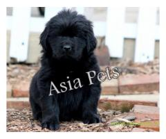 Newfoundland puppy  for sale in Nagpur Best Price