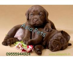 chocolate labrador puppy for sale in delhi