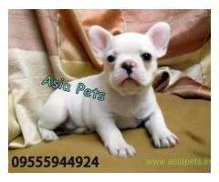 French bulldog puppy for sale in Kanpur best price